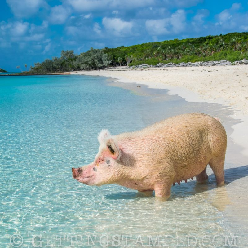 bahamas-exuma-swiming with the pigs-2
