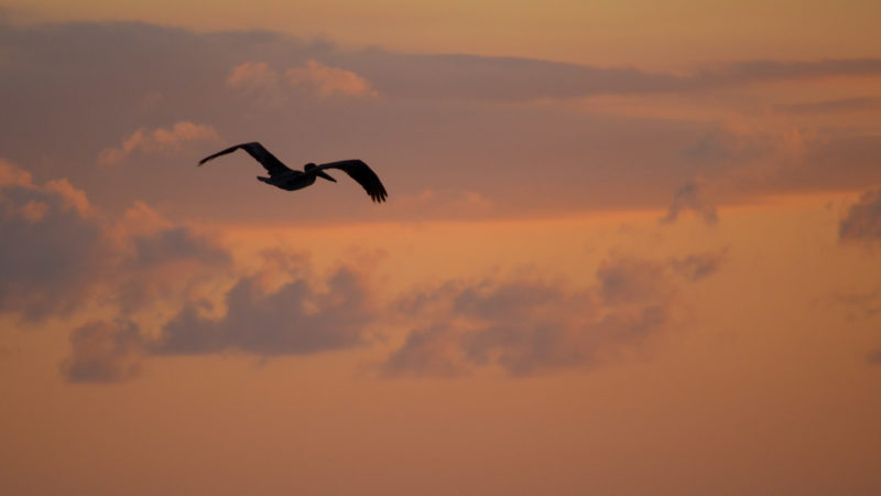 A Flying Pelican at sunset at the Pelican Bar