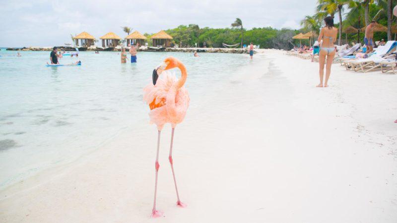 Pink flamingo on the beach in Aruba - top things to do Aruba honeymoon
