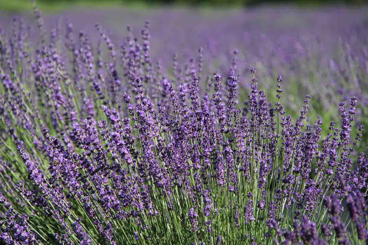 Lavender field at Fragrant Isle Lavender Farm and Shop on