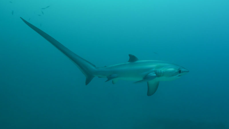 The long tailed Thresher Shark swims in the waters near Malapascua Island